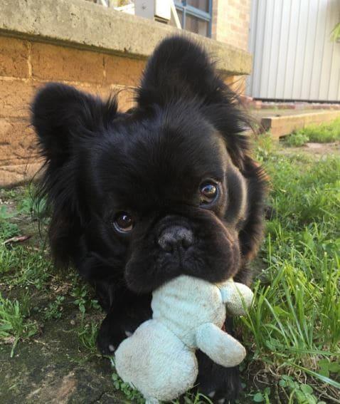 bull dog francés con cabello negro peluche