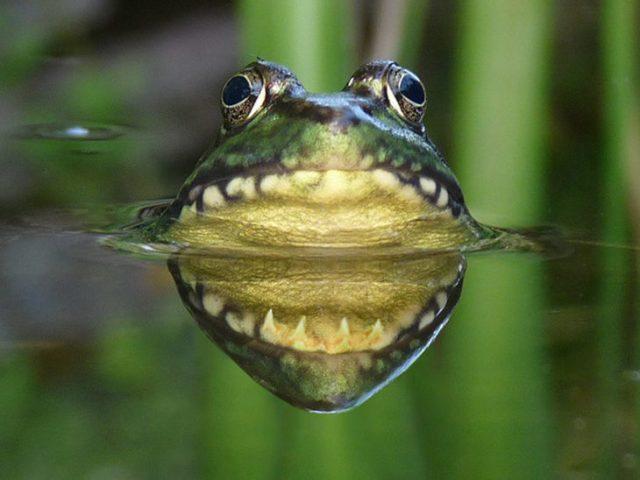 rana que con el reflejo semeja que tiene una gran mandibula