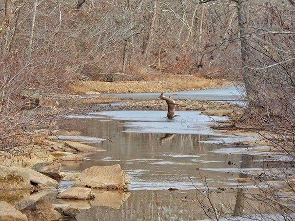 venado se resbala en el hielo