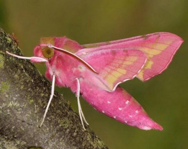 mosca rosa
