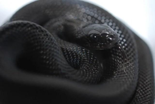 serpiente negra