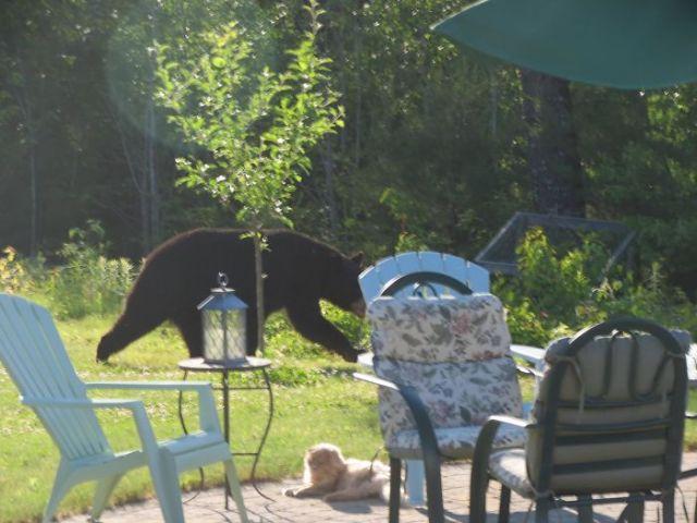 Gato acostado mientras oso pasa