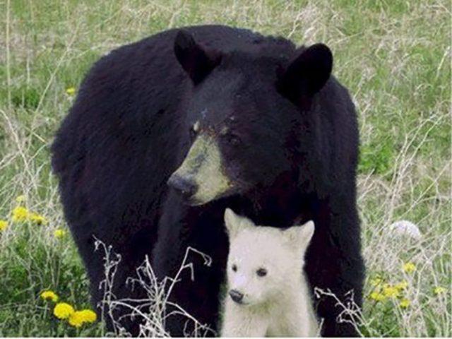 Pequeño osezno albino defendido por su madre