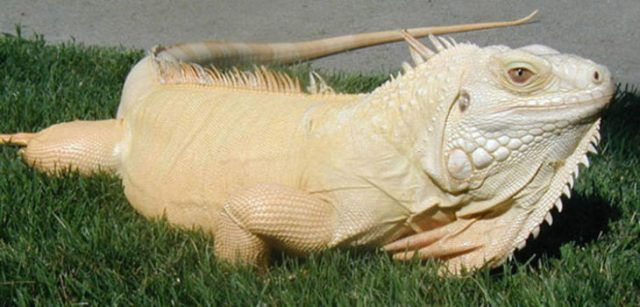 iguana sin melanina albina