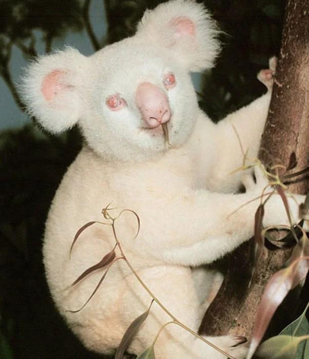 koala que padece de albinismo