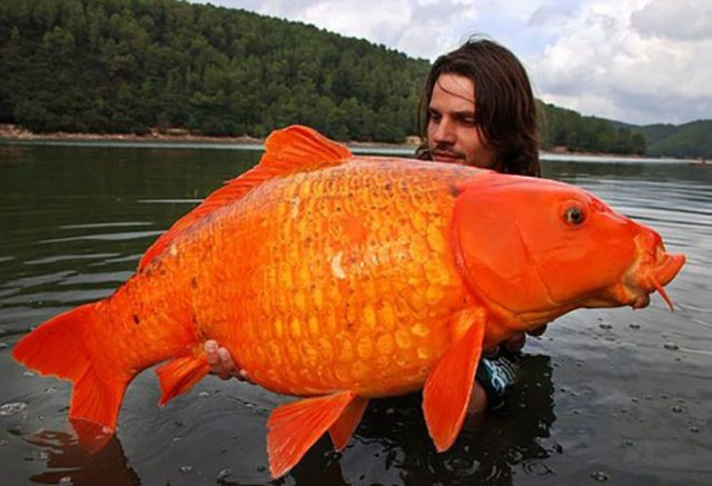 Hombre con gran pez dorado