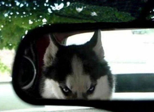 Husky molesto retrovisor
