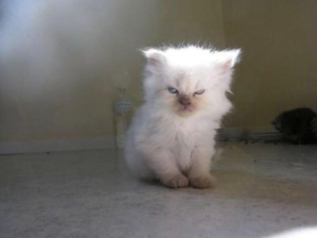 gatito blanco y piloso molesto