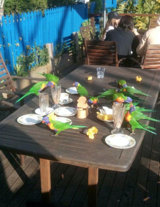 Australia pericos comiendo mesa