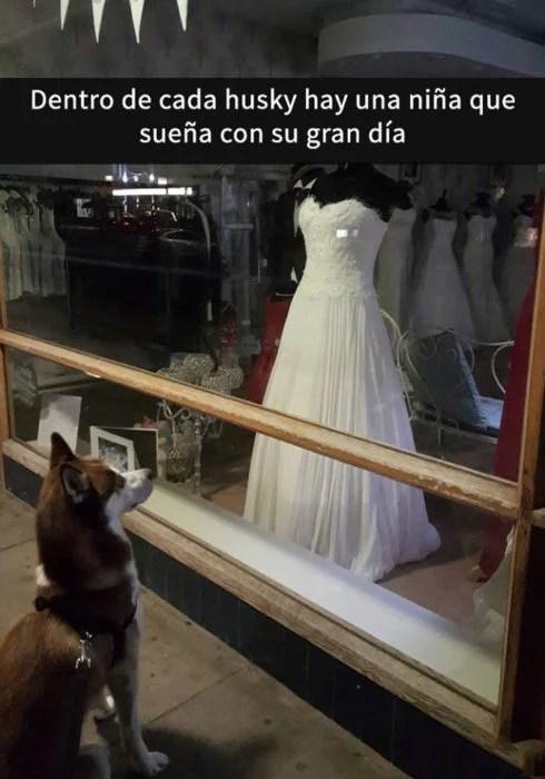 Snaps perritos - husky vestido de novia