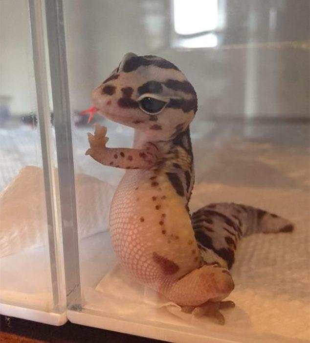 geko vidrio sacando la lengua