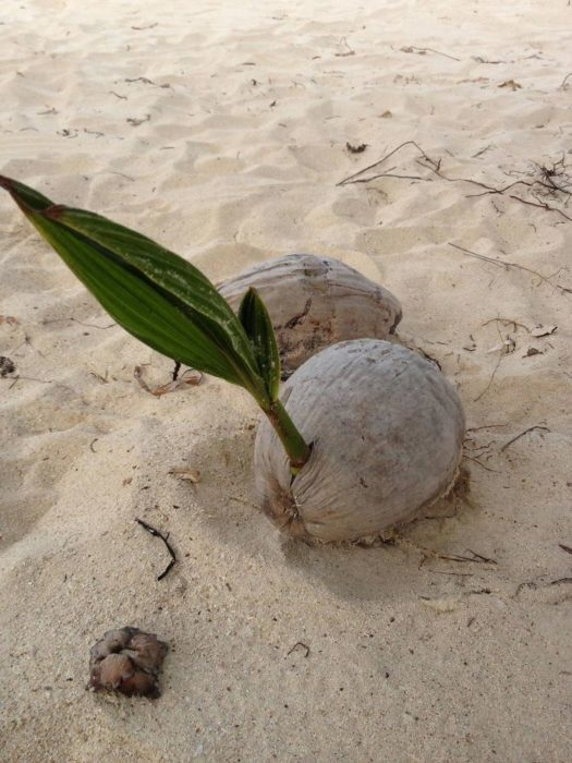 Y asi es cual nacen las palmeras