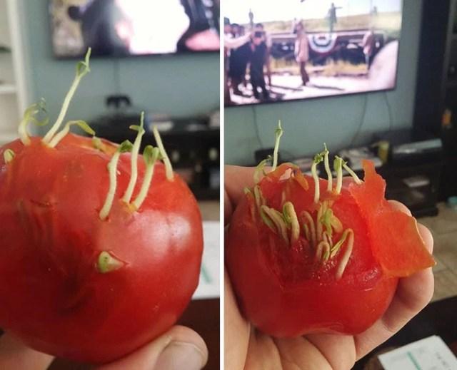 semillas brotando en un tomate
