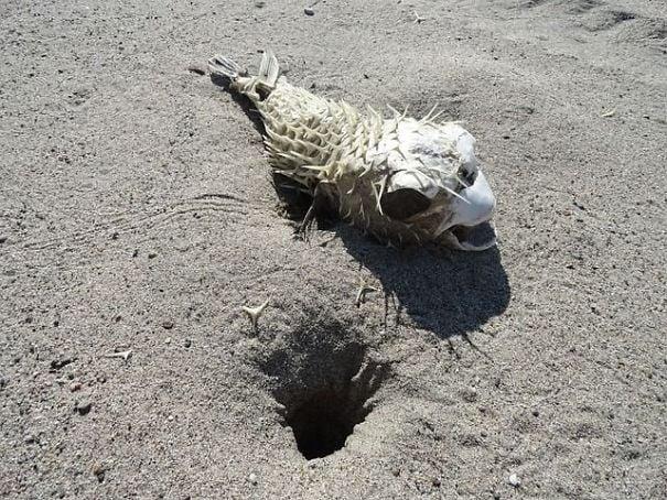 esqueleto de pez globo