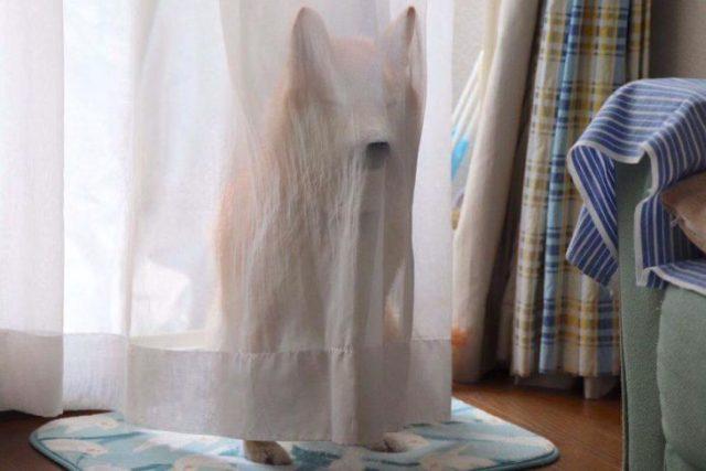 cortina chucho escondido