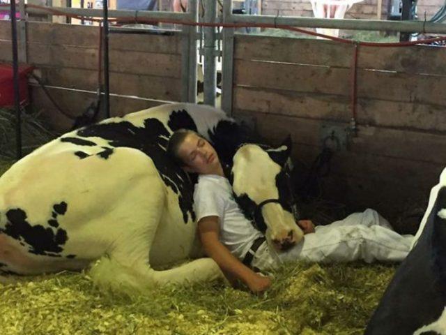 S queda domido con su vaca