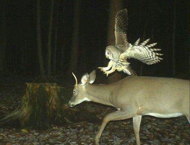 El asalto del búho