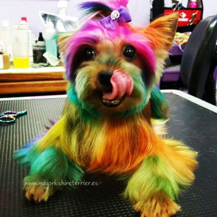 perrito con el cabello teñido