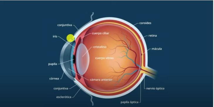 estructura del ojo asignatura biología 3º ESO