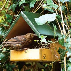 CJ Wildlife Blackbird Nest Box