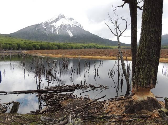 Daños causados por castores en Tierra del Fuego. CARLA NOVAK