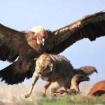 The Andean condor