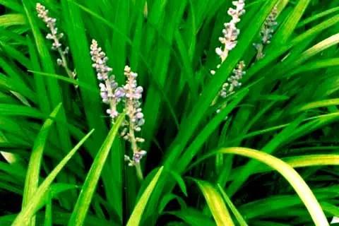 hierba-luisa