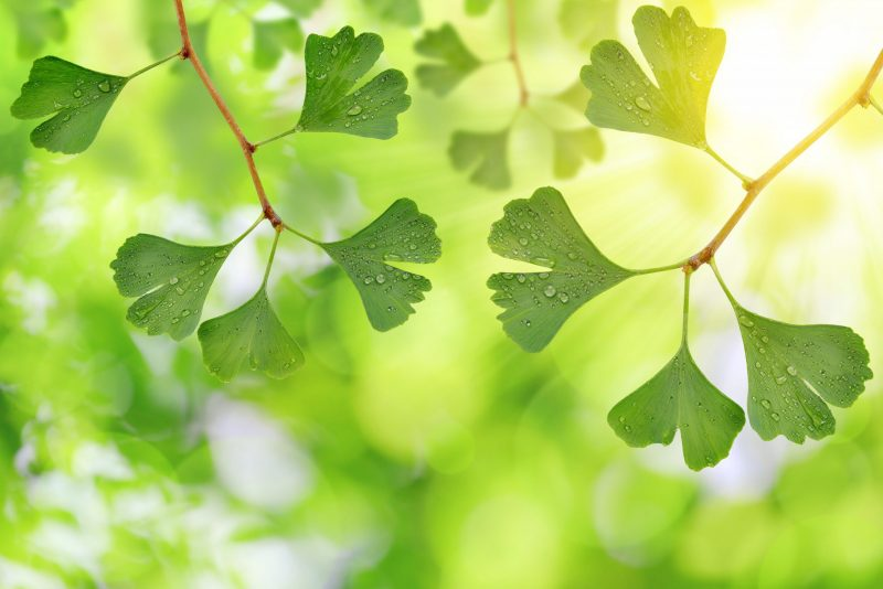 Ginkgo Leaf Symbolic Meaning, Spiritual And Healing Effect