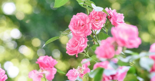 In June, the birth flower Rose laughs