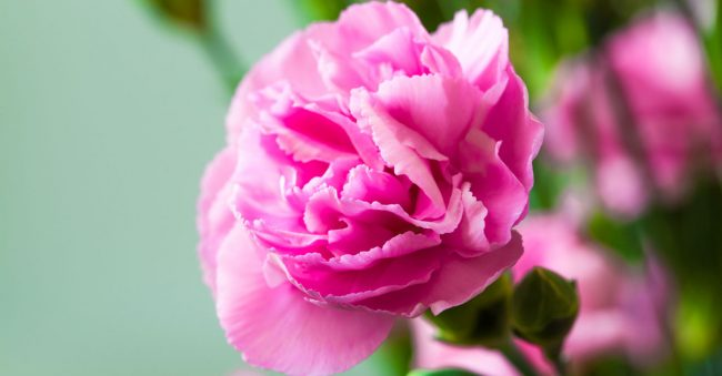 January has the birth flower carnation