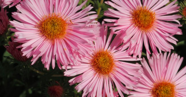 September is all about asters