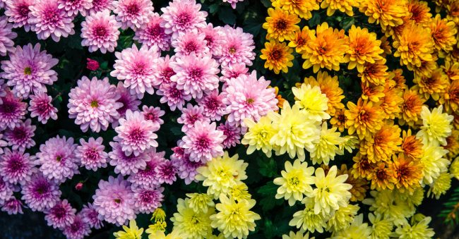 The chrysanthemum belongs to November