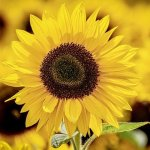 Biblical meaning of a sunflower