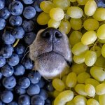 My Dog Ate Grapes But Seems Fine