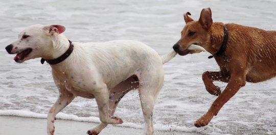 animals-beach-dogs-36477 (1)