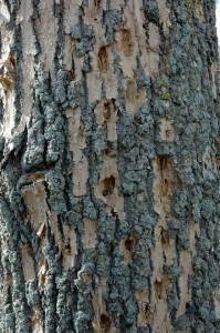 tree service and pest management emerald ash borer damage