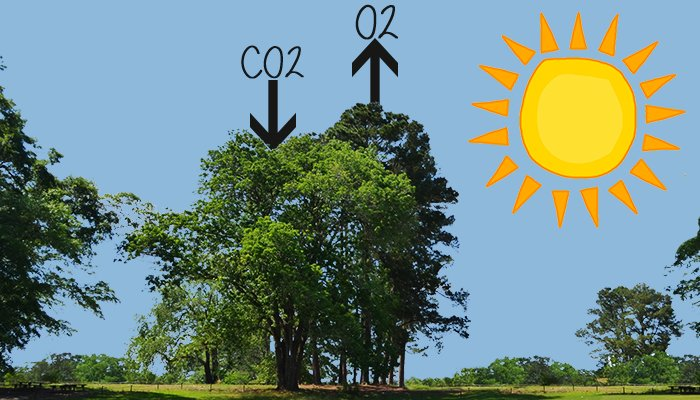 Trees can help prevent climate change