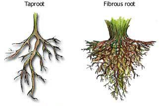function of roots taproot fibrous root