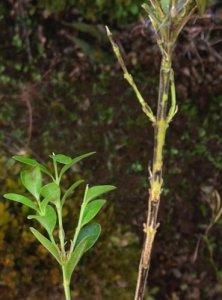 boxwood blight symptoms
