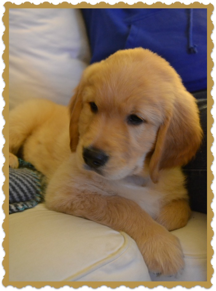 Charlie the Golden Retriever 8 weeks old