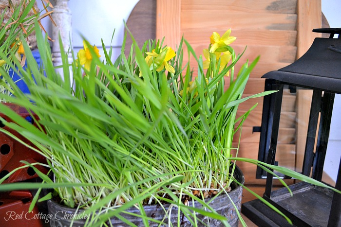 Cat Grass and Daffodil DIY Spring Planter
