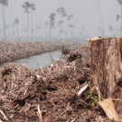 Deforestation in Indonesia continues, despite the moratorium