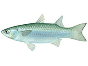 greenback-mullet netting rules