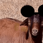 Baby Brown with Mickey ears
