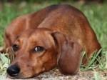 Fármaco brasileiro melhora imunidade de cães com leishmaniose