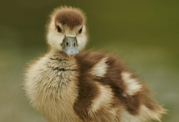 goose-379393_1280