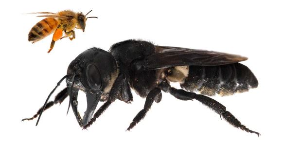 Resin Bee – the world's biggest bee – is back in action after being missing for 38-years