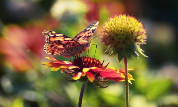 Big Butterfly Count – help track this year's butterfly migration