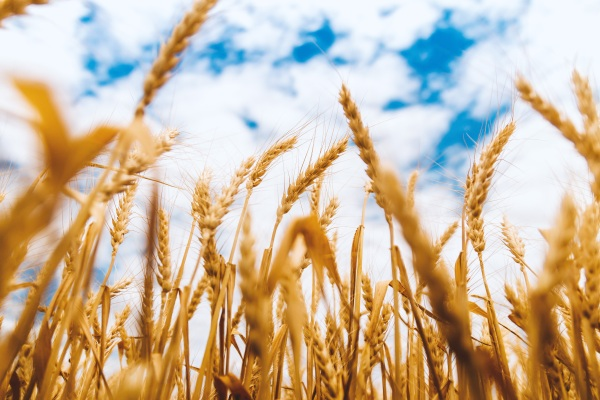 Drought Resistant Barley – gene discovered that gives barley a boost in survival