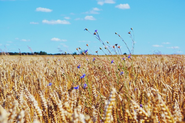 Climate Resistant Mutations – wild wheat may provide key to avoid future famines